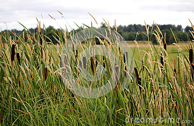 Cattails and reed canary grass