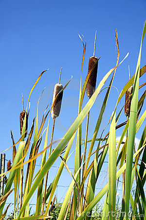 Cattails and sky vertical