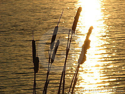 Cattails by water