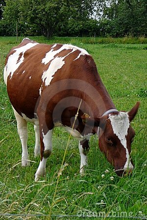 Free Cattle Royalty Free Stock Images - 996219