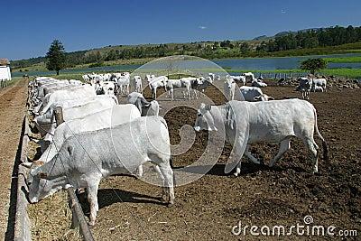 Intensive animal farming