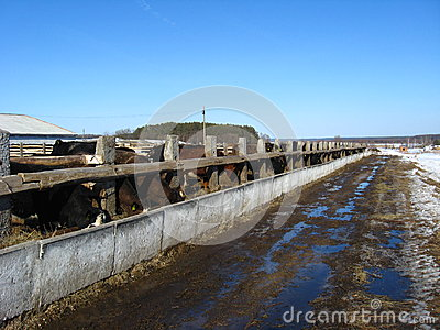 Cattle-breeding farm in the spring