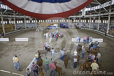 Cattle contest at Iowa State Fair Editorial Photography