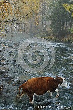 A cattle cross a river