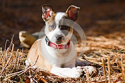 Cattle Dog / Boxer Hybrid Puppy