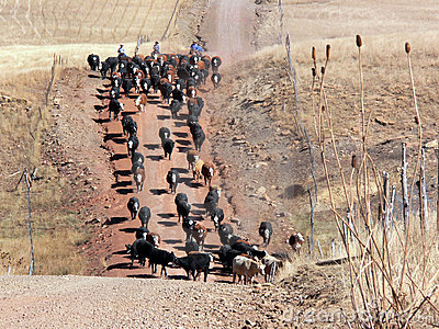 Cattle drive along a mountain road