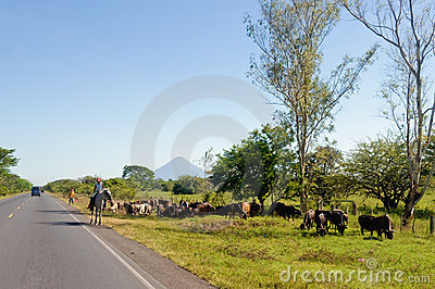Cattle drive by side of road