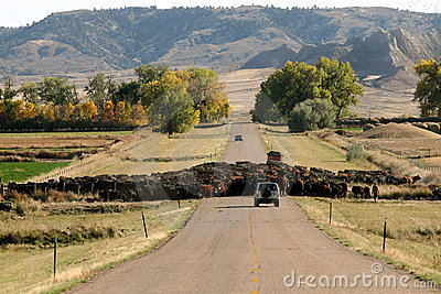 Cattle Drive and Traffic Jam
