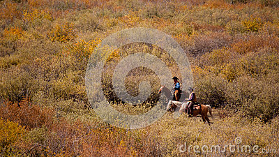 Cattle Drive Editorial Image
