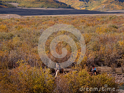 Cattle Drive Editorial Stock Image