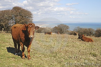 Cattle at Eastbourne. East Sussex. England