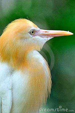 Free Cattle Egret 1 Stock Photography - 6091572
