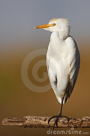 Free Cattle Egret Royalty Free Stock Photo - 17274675