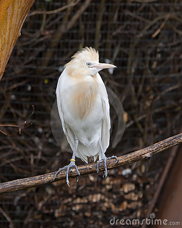 Free Cattle Egret Stock Images - 19030184
