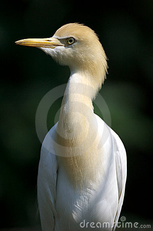 Free Cattle Egret Stock Images - 3613204