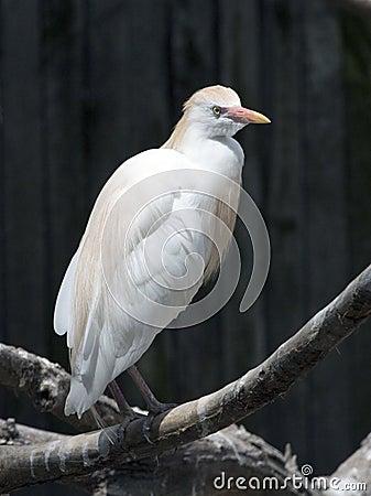 A cattle egret Bubulcus ibis