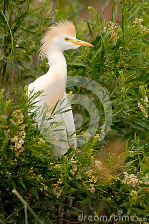 Free Cattle Egret (Bubulcus Ibis) Patagonia, Argentina, South America. Royalty Free Stock Photo - 28194405