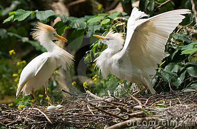 Cattle egret with eggs