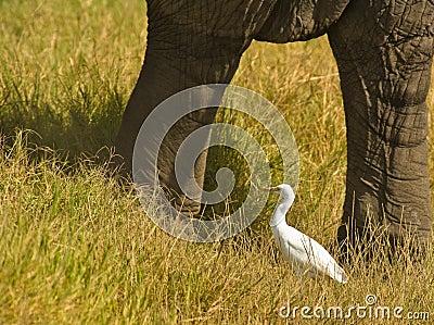 A Cattle Egret between Elephant columns