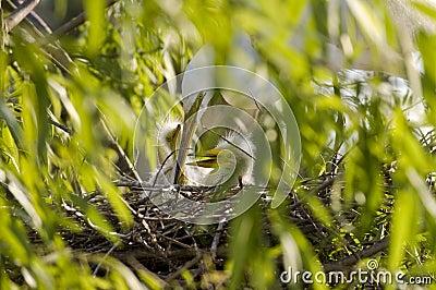 Cattle Egret feeding chicks