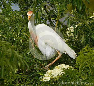 Free Cattle Egret On Tree In Florida Stock Photography - 98603182