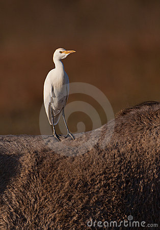 A Cattle Egret´s free ride