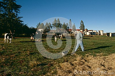 A cattle farm in South Africa Editorial Stock Image