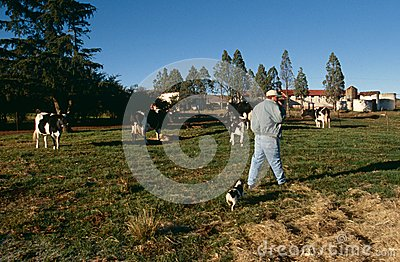 A cattle farm in South Africa Editorial Photo