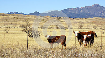 Cattle graze in the prairie