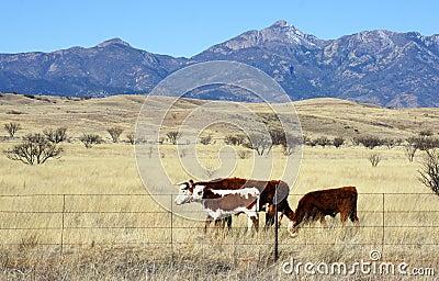 Cattle graze in the prairie