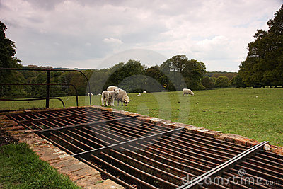 Cattle grid and sheep
