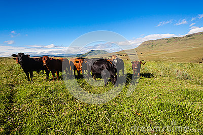 Cattle Heifers Mountains Green Blue