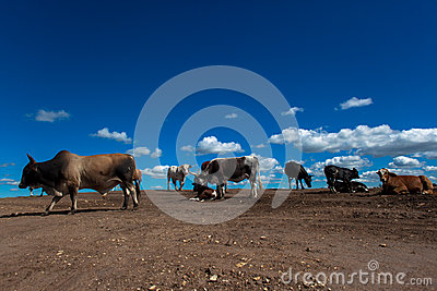 Cattle Industrial Conflict