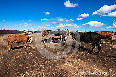 Cattle Land Construction Conflict