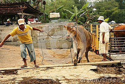 Cattle market Editorial Image