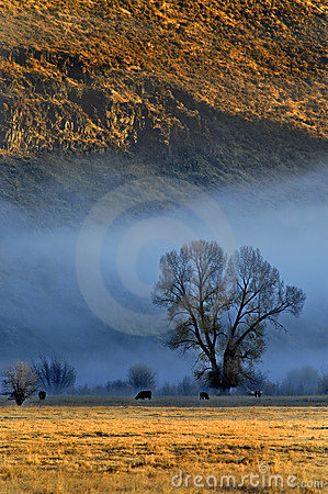 Cattle in Morning Fog
