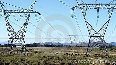 Cattle and pylons