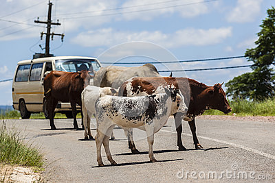 Cattle Road Vehicle