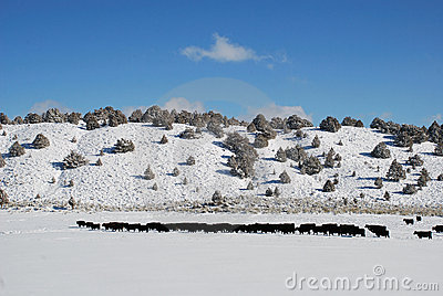 Cattle Snow Pasture