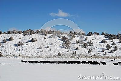 Cattle Snow Pasture