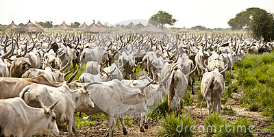 Cattle in South Sudan