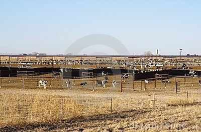 Cattle Stockyard