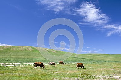 Cattle in summer meadow