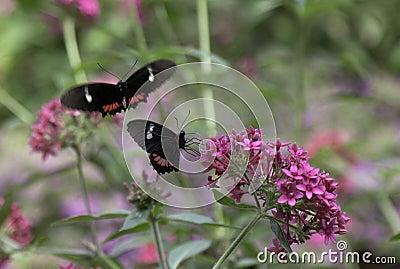 Cattleheart Butterflies