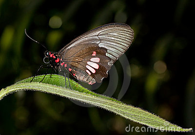 Cattleheart butterfly - Parides anchises