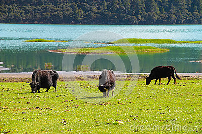 Cattles roaming free at Shudu Lake, Shangri-la