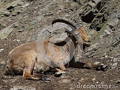 Caucasian ibex