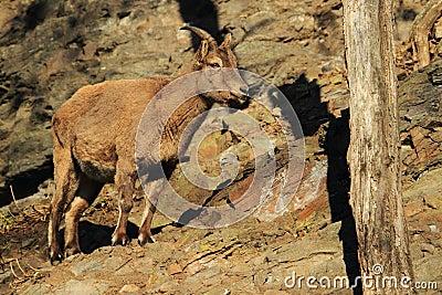 Caucasian ibex juvenile