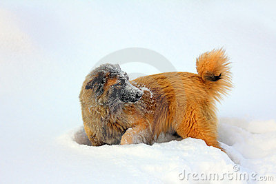 Caucasian Shepherd dog in snow