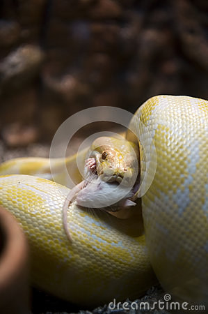 Caught! Yellow Python Swallows Mouse